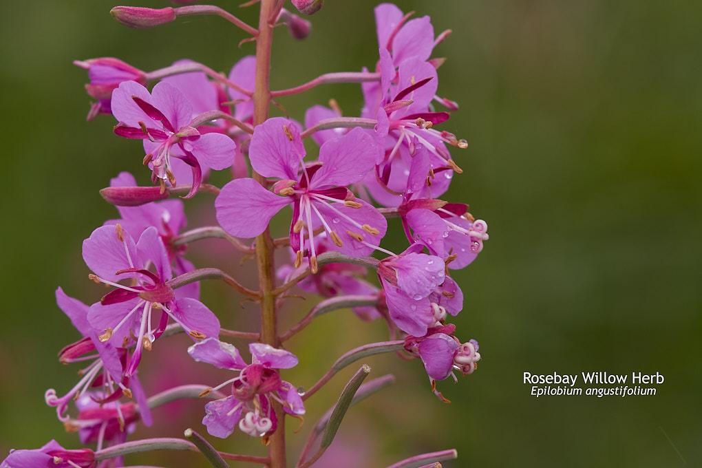 Rosebay Willow Herb Epilobium angustifolium