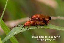 Black Tipped Soldier Beetle