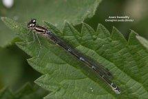 Azure Damselfly Coenagrion puella female