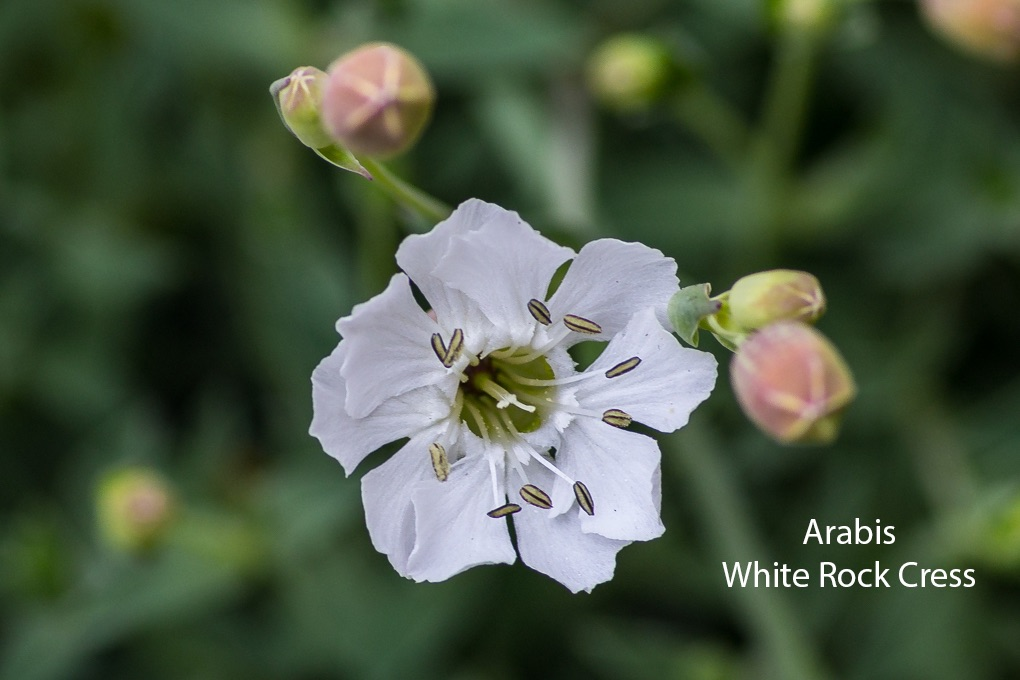 Arabis White Rock Cress