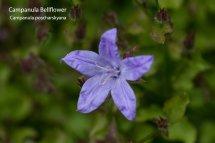 Campanular Bellflower