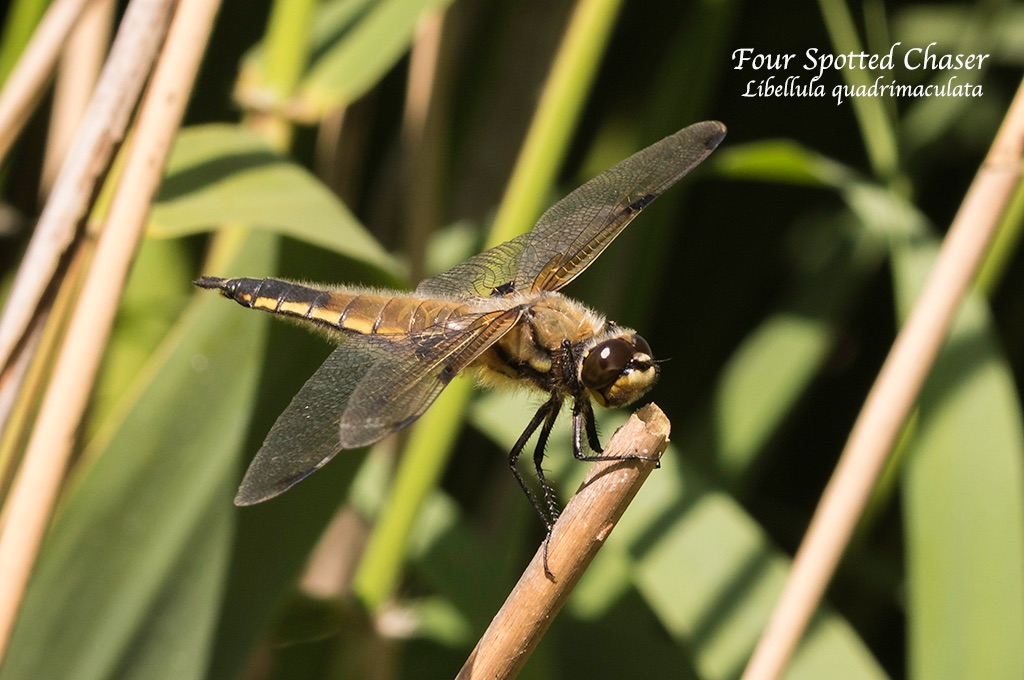 Four Spotted Chaser Libellula quadrimaculata
