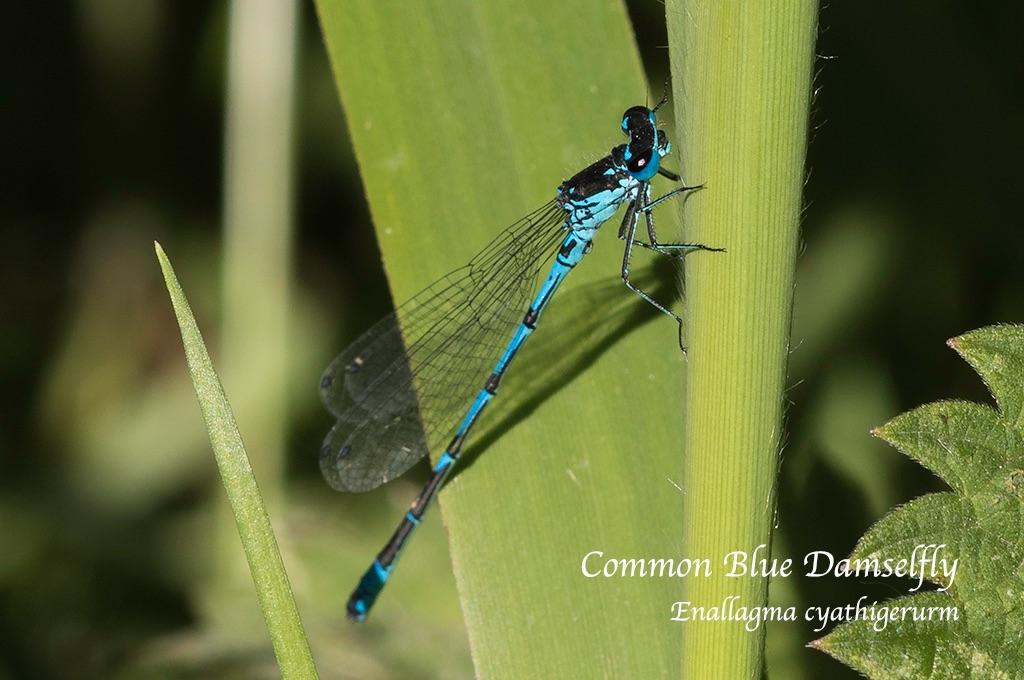 Common Blue Damselfly Enallagma cyathigerurm