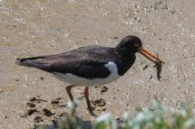 Oyster Catcher (1 of 1)