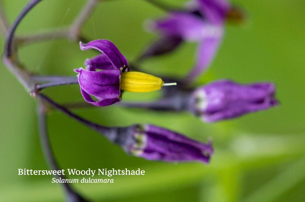 Bittersweet Woody Nightshade Solanum dulcamara