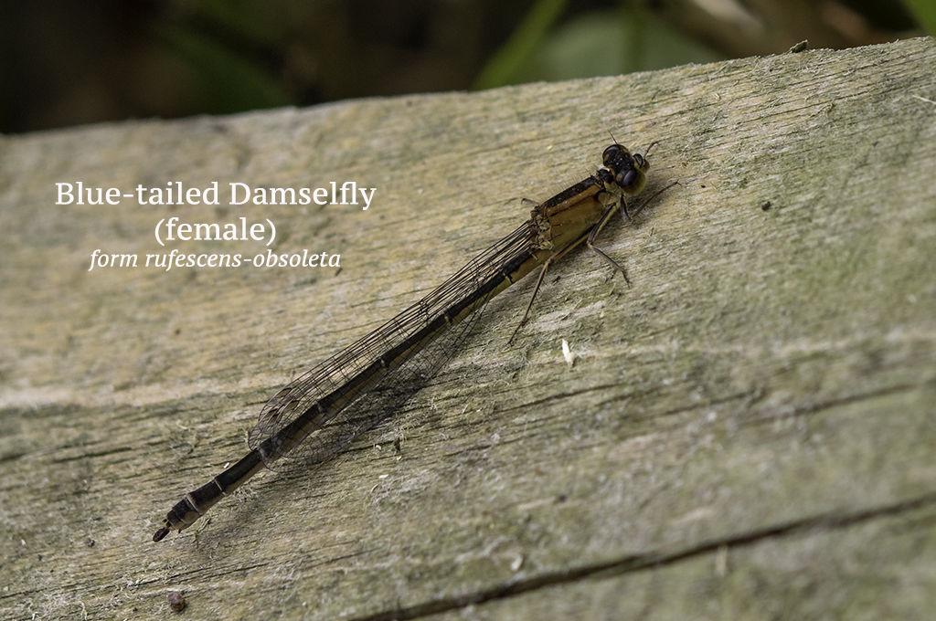 Blue tailed Damselfly female form rufescens obsoleta