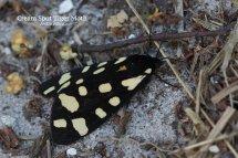 Cream Spot Tiger Moth Arctia villica