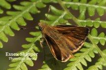Essex Skipper Thymelicus lineola