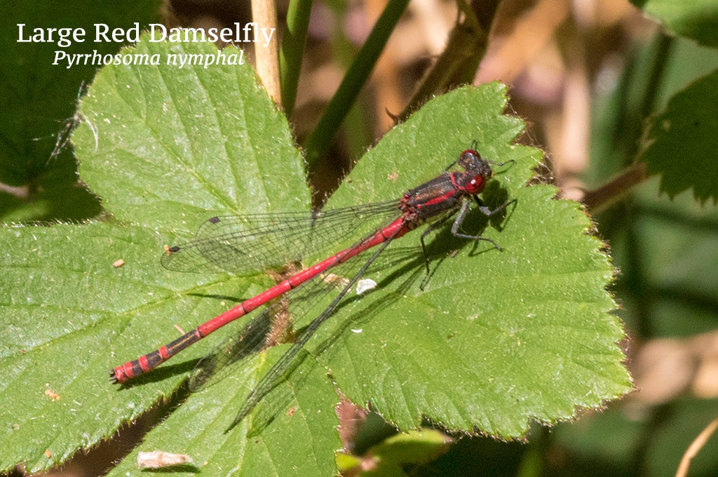 Large Red Damselfly Pyrrhosoma nymphal