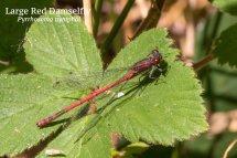 Large Red Damselfly Pyrrhosoma nymphal