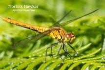 Norfolk Hawker Aeshna isosceles