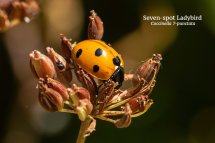 Sevenspot Ladybird Coccinella 7 punctata