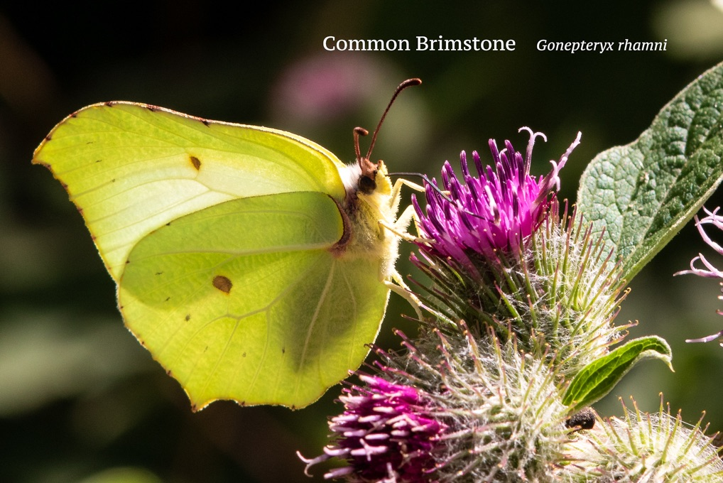 Common Brimstone Gonepteryx rhamni