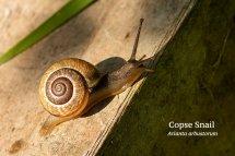 Copse Snail Arianta arbustorum