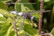 Keeled Skimmer Orthetrum coerulescens