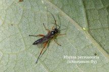 Rhyssa persuasoria (ichneumon fly)