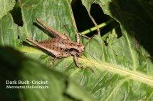 Dark Bush Cricket Meconema thallasiniuim