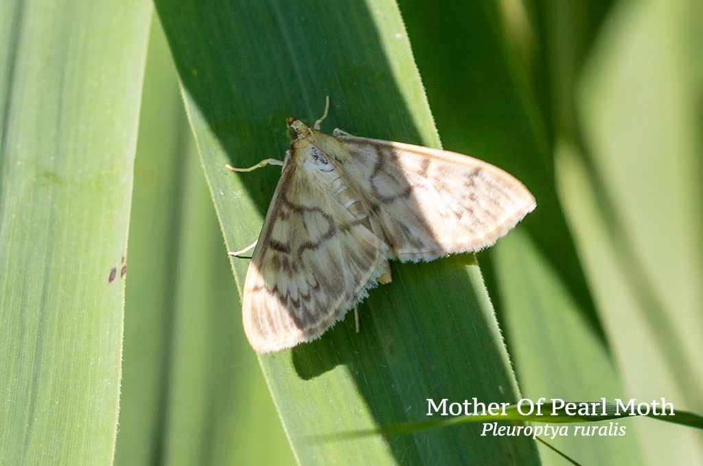 Mother Of Pearl Moth Pleuroptya ruralis