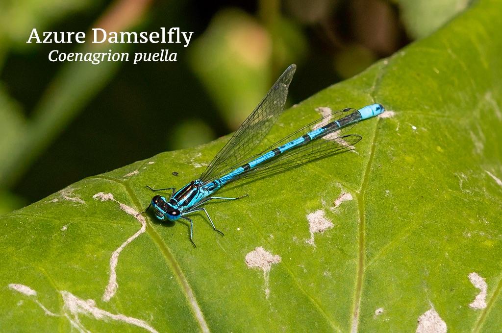 Azure Damselfly Coenagrion puella