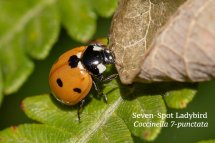 Seven-spot Ladybird Coccinella 7-punctata