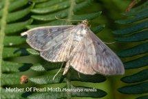 Mother Of Pearl Moth Pleuroptya ruralis