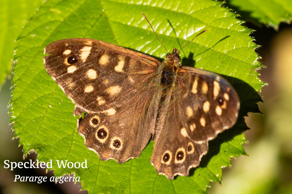 Speckled Wood Pararge aegeria