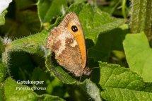 Gatekeeper Pyronia tithonus