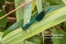 Banded demoiselle Calopteryex splendens