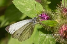 Green veined White Pieris napi
