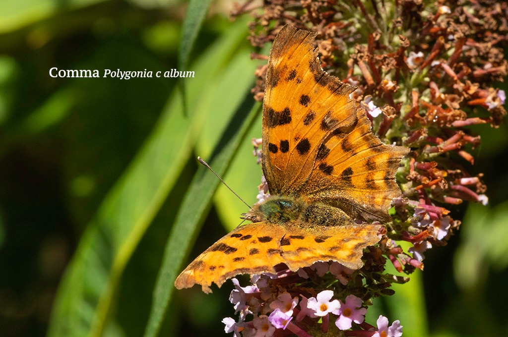 Comma Polygonia c album