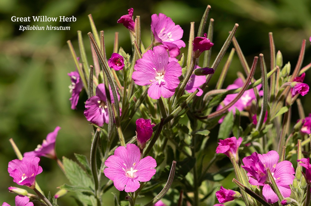 Great Willow Herb Epilobiun hirsutum