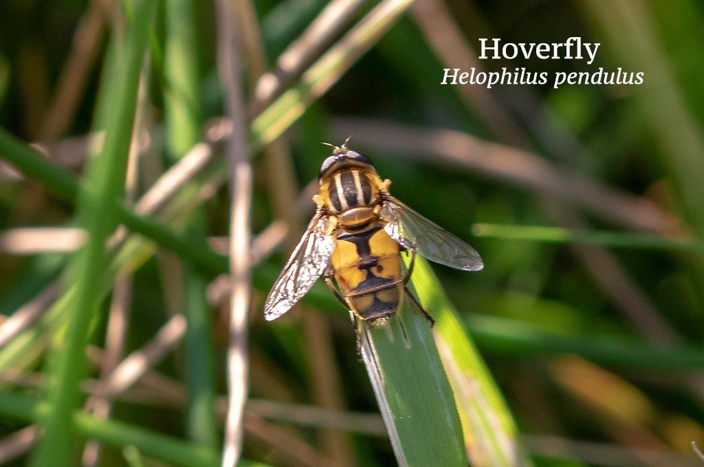 Hoverfly Helophilus pendulus