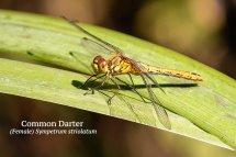 Common Darter Female Sympetrum striolatum