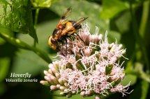 Hoverfly Volucella zonaria