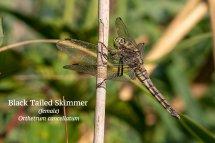 Black Tailed Skimmer Orthetrum cancellatum female