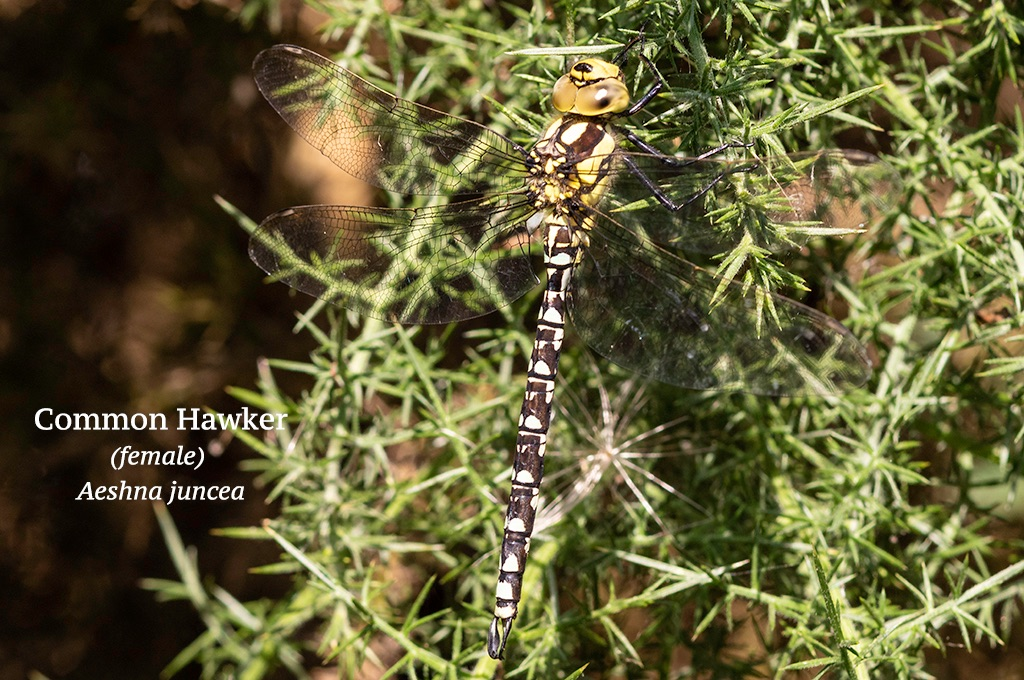 Common Hawker female Aeshna juncea