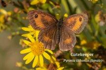 Gatekeeper Pyronia tithonus (female)