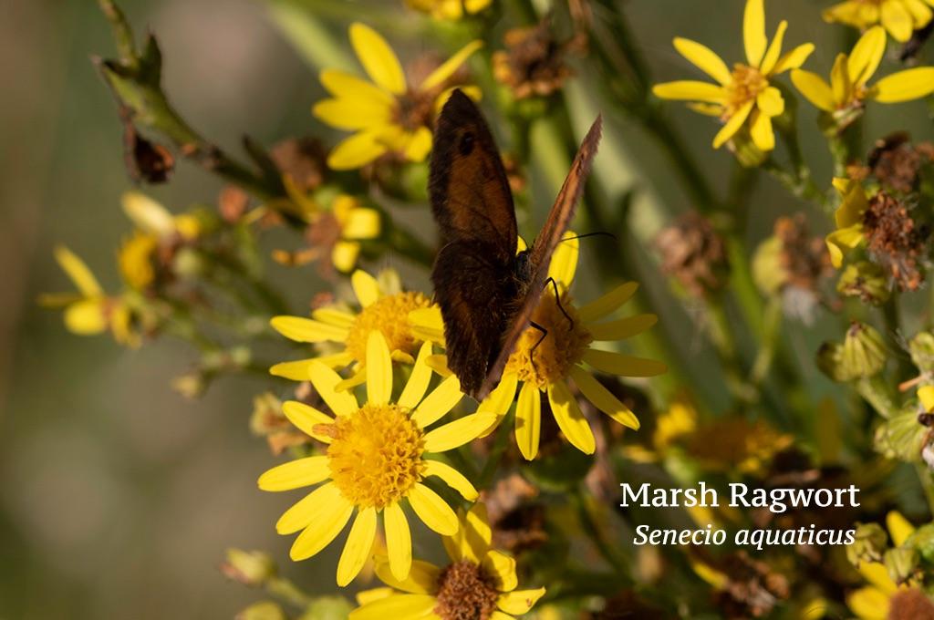 Marsh Ragwort Senecio aquaticus