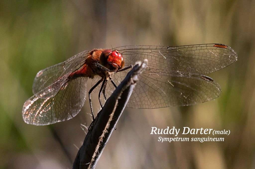 Ruddy Darter male Sympetrum sanguineum