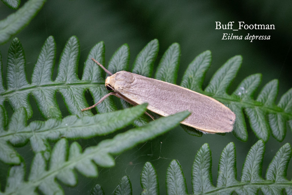 Buff Footman Eilma depressa