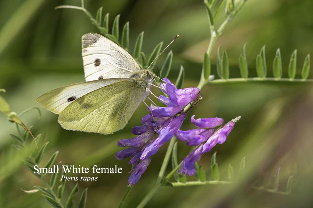 Small White female Pieris rapae