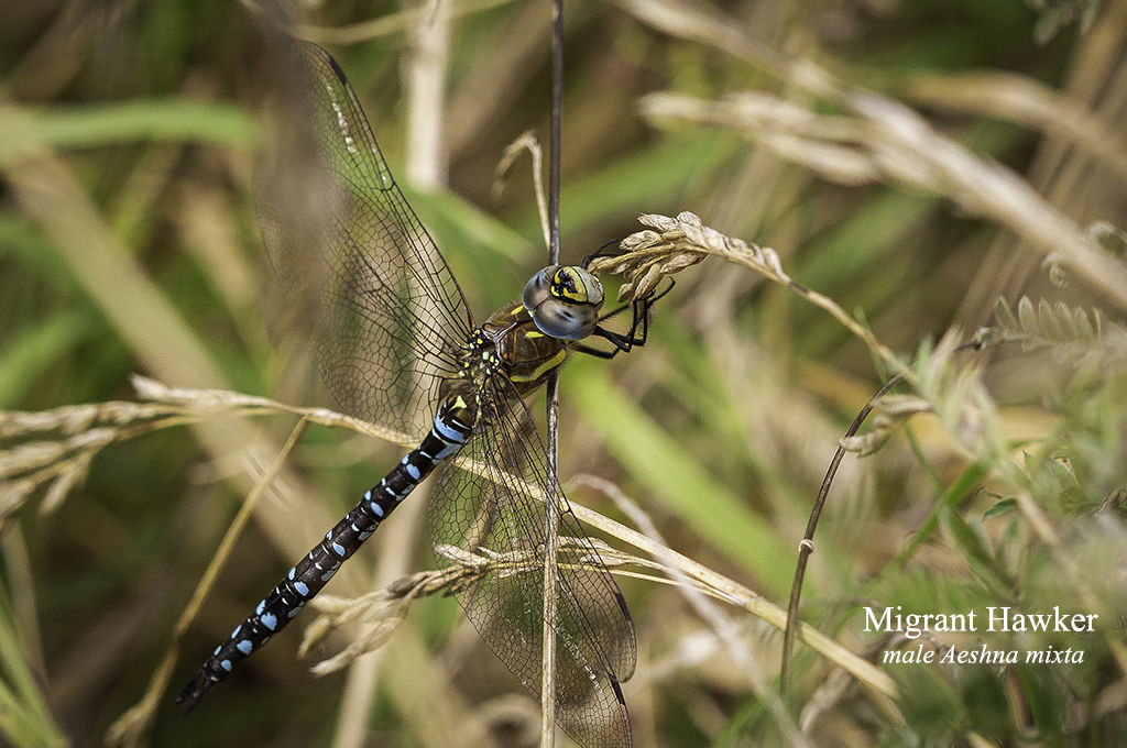 Migrant Hawker (male) Aeshna mixta