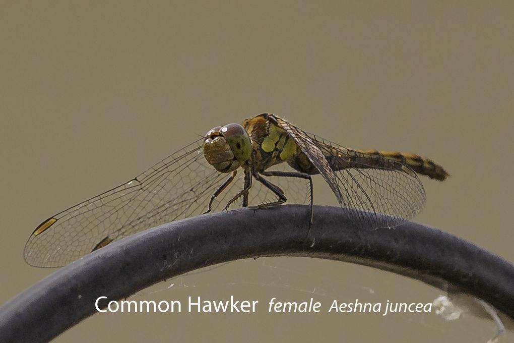 Common Hawker female Aeshna juncea