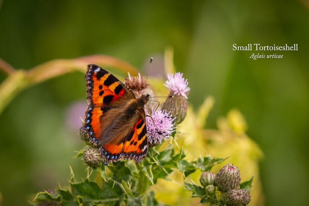 Small Tortoiseshell Aglais urticae-Edit