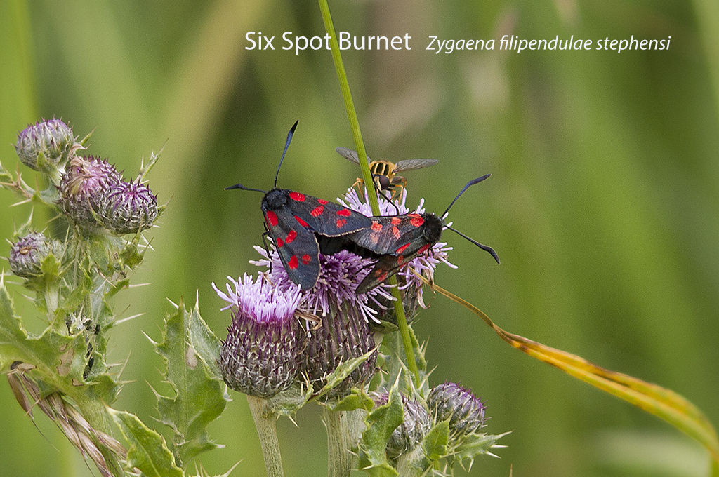 Six Spot Burnet Zygaena filipendulae stephensi