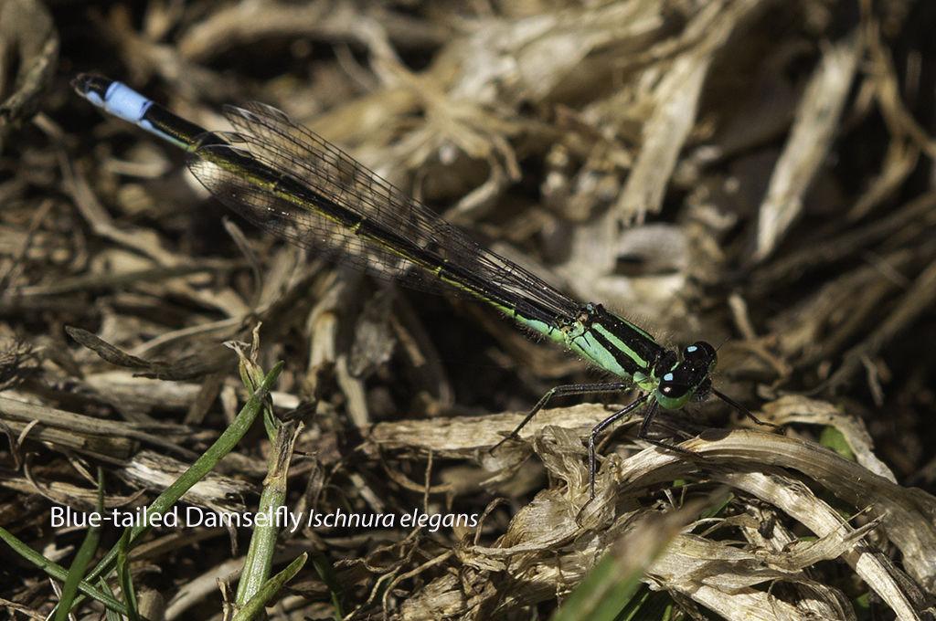 Blue tailed Damselfly Ischnura elegans