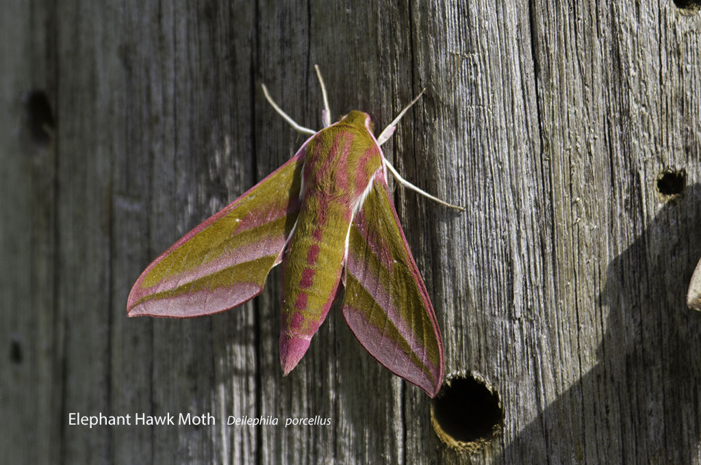 Elephant Hawk Moth Deilephila porcellus