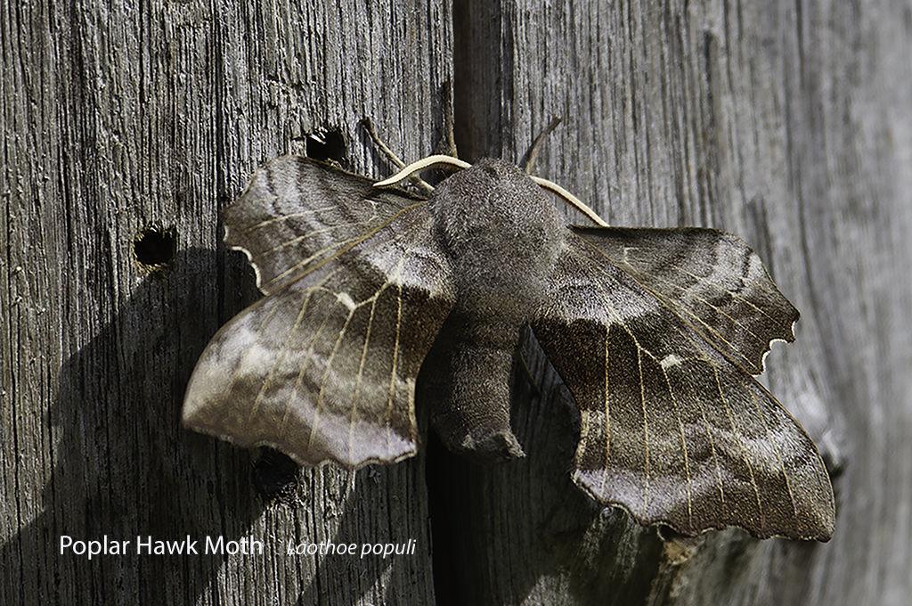 Poplar Hawk Moth Laothoe populi