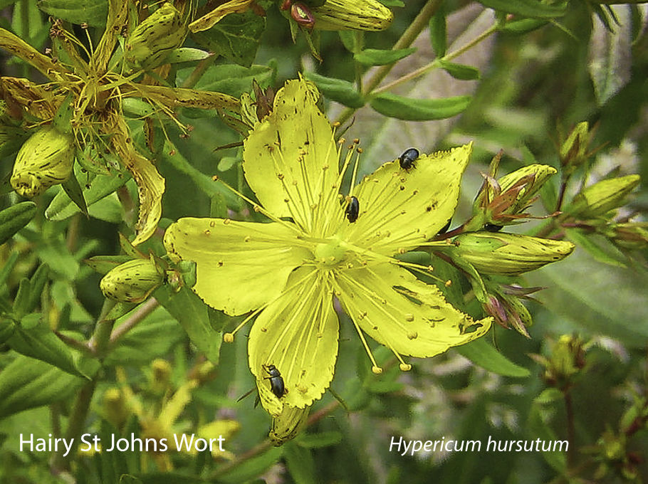 Hairy St Johns Wort Hypericum hursutum