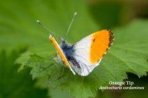 Orange Tip Anthocharis cardamines